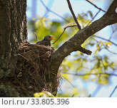 Купить «Chick with open beak in nest», фото № 33805396, снято 19 мая 2019 г. (c) Куликов Константин / Фотобанк Лори