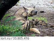 The striped hyena (Hyaena hyaena)  lies on the sand and looks at us. Стоковое фото, фотограф Куликов Константин / Фотобанк Лори