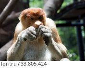 The proboscis monkey (Nasalis larvatus) or long-nosed monkey. Стоковое фото, фотограф Куликов Константин / Фотобанк Лори