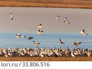 Купить «Swarm of Snow Geese in Saskatchewan Canada», фото № 33806516, снято 1 июня 2020 г. (c) age Fotostock / Фотобанк Лори