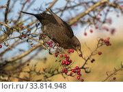Купить «Blackbird (Turdus merula) feeding on Hawthorn berries (Crataegus monogyna), Caerlaverock Wildfowl and Wetland Trust Reserve, Dumfries and Galloway, Scotland, UK, November.», фото № 33814948, снято 6 июня 2020 г. (c) Nature Picture Library / Фотобанк Лори