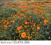 Yellow California goldfields (Lasthenia californica) and orange California poppies (Eschscholzia californica), with lupins intermixed. Antelope Butte,... Стоковое фото, фотограф Jack Dykinga / Nature Picture Library / Фотобанк Лори