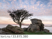 Hawthorn tree and granite outcrop at Holwell tor, sunrise and mist, Dartmoor National Park, Devon, UK. October 2018. Стоковое фото, фотограф Ross Hoddinott / Nature Picture Library / Фотобанк Лори