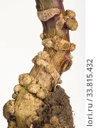 Купить «Section through edemas (also known as oedemas / cankers) abiotic swellings on the stem of a purple brussel sprout plant (Brassica oleracea)», фото № 33815432, снято 2 июля 2020 г. (c) Nature Picture Library / Фотобанк Лори