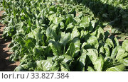Купить «Closeup of fresh green Swiss chard growing on large plantation on spring day», видеоролик № 33827384, снято 2 марта 2020 г. (c) Яков Филимонов / Фотобанк Лори