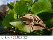 Купить «Nursery web spider (Pisaura mirabilis) hunting on a Honeysuckle leaf in a garden, with buildings in the background, Wiltshire, UK, April.», фото № 33827524, снято 28 мая 2020 г. (c) Nature Picture Library / Фотобанк Лори