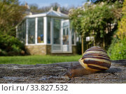 Купить «White-lipped snail (Cepaea hortensis) crawling over an oak sleeper retaining a garden lawn with buildings and a greenhouse in the background, Wiltshire, UK, April.», фото № 33827532, снято 29 мая 2020 г. (c) Nature Picture Library / Фотобанк Лори