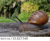 Garden snail (Cornu aspersum / Helix aspersa) crawling over an oak sleeper retaining a garden lawn, Wiltshire, UK, April. Стоковое фото, фотограф Nick Upton / Nature Picture Library / Фотобанк Лори