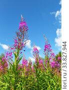 Купить «Purple Alpine fireweed in summer day», фото № 33827944, снято 21 июля 2019 г. (c) FotograFF / Фотобанк Лори
