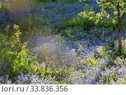 In the spring garden blue forget-me-not flowers bloom on a sunny day. Стоковое фото, фотограф Яна Королёва / Фотобанк Лори