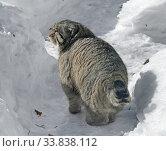 Купить «Funny Manul cat (Felis cat) in snow», фото № 33838112, снято 9 марта 2018 г. (c) Валерия Попова / Фотобанк Лори