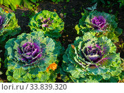 Купить «Декоративная капуста на грядке. Decorative cabbage, ornamental Kale, in Latin Brassica oleracea var. acephala. Autumn background with decorative cabbage», фото № 33839320, снято 31 августа 2019 г. (c) Зезелина Марина / Фотобанк Лори