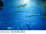 "Акула в ""Москвариуме"" на ВДНХ (2020 год). Редакционное фото, фотограф Natalya Sidorova / Фотобанк Лори"