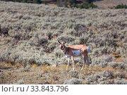 Купить «Pronghorn Antelope in american prairie, Utah, USA.», фото № 33843796, снято 1 июня 2020 г. (c) easy Fotostock / Фотобанк Лори