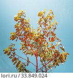 Купить «Красочная природная идея. Ярко окрашенное растение на фоне голубого неба», фото № 33849024, снято 17 мая 2020 г. (c) Сергей Тиняков / Фотобанк Лори