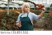 Mature female florist in apron with scissors working with begonia plants. Стоковое фото, фотограф Яков Филимонов / Фотобанк Лори