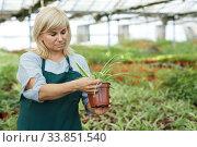 Купить «Mature female gardener working with plant of cinta in pots in greenhouse», фото № 33851540, снято 20 августа 2018 г. (c) Яков Филимонов / Фотобанк Лори