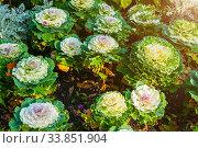 Декоративная капуста. Decorative cabbage, ornamental Kale, in Latin Brassica oleracea var. acephala. Decorative cabbage or ornamental kale. Стоковое фото, фотограф Зезелина Марина / Фотобанк Лори