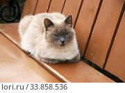 Сиамский кот отдыхает на лавочке. Стоковое фото, фотограф Щеголева Ольга / Фотобанк Лори