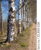 Купить «Birch grove by a dirt road», фото № 33859036, снято 8 мая 2020 г. (c) Argument / Фотобанк Лори
