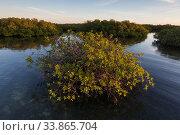 Купить «Red Mangrove (Rhizophora mangle) forest, Cienaga de Zapata National Park, Matanzas Province, Cuba.», фото № 33865704, снято 2 июня 2020 г. (c) Nature Picture Library / Фотобанк Лори