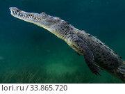 American crocodile (Crocodylus acutus), Jardines de la Reina / Gardens... Стоковое фото, фотограф Claudio Contreras / Nature Picture Library / Фотобанк Лори