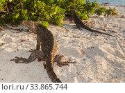 Cuban / Clouded rock iguanas (Cyclura nubila), on beach, Jardines... Стоковое фото, фотограф Claudio Contreras / Nature Picture Library / Фотобанк Лори