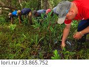 Купить «Mangrove reforestation group planting Red Mangrove (Rhizophora mangle), Playa Mayabeque, Mayabeque, Cuba.», фото № 33865752, снято 2 июня 2020 г. (c) Nature Picture Library / Фотобанк Лори