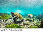 Купить «Galapagos green sea turtles (Chelonia mydas agassizii) feeding on seaweed growing on lava rocks off Isabela Island, Galapagos, Ecuador. December.», фото № 33866188, снято 31 мая 2020 г. (c) Nature Picture Library / Фотобанк Лори