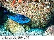 Купить «A Midnight parrotfish (Scarus coelestinus) feeding on algae off Eleuthera Island in The Bahamas.», фото № 33866240, снято 10 июля 2020 г. (c) Nature Picture Library / Фотобанк Лори