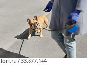 Купить «woman with french bulldog dog walking in city», фото № 33877144, снято 6 мая 2020 г. (c) Syda Productions / Фотобанк Лори