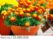 Купить «Tagetes patula french marigold in bloom, orange yellow flowers, green leaves, pot plant», фото № 33880836, снято 4 июля 2020 г. (c) easy Fotostock / Фотобанк Лори
