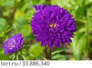 Цветущая фиолетовая астра крупным планом. Стоковое фото, фотограф Елена Коромыслова / Фотобанк Лори