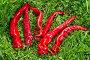 Купить «Стручки острого перца на зеленой траве», фото № 33886344, снято 26 августа 2019 г. (c) Елена Коромыслова / Фотобанк Лори