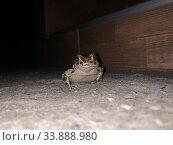 Купить «Травяная земляная озерная лягушка в ночное время у порога в дом», фото № 33888980, снято 31 мая 2020 г. (c) Кузнецов Максим / Фотобанк Лори