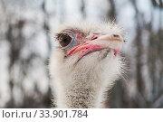 Portrait of a ostrich, close up. Стоковое фото, фотограф Gagara / Фотобанк Лори