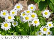 Купить «Белые маргаритки (лат. Bellis perennis) цветут весной в саду», фото № 33919440, снято 28 мая 2019 г. (c) Елена Коромыслова / Фотобанк Лори