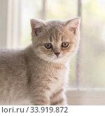 Купить «Портрет маленького котенка породы британская короткошерстная», фото № 33919872, снято 30 мая 2020 г. (c) Наталья Гармашева / Фотобанк Лори