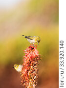 Купить «Cape white-eyes (Zosterops capensis) feeding on flowers, Garden Route, Western Cape Province,South Africa.», фото № 33920140, снято 6 июня 2020 г. (c) Nature Picture Library / Фотобанк Лори