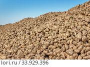 Купить «Sugar beet pile at the field», фото № 33929396, снято 9 октября 2015 г. (c) Nataliia Zhekova / Фотобанк Лори