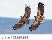 White-tailed eagles (Haliaeetus albicilla) fighting, Sodankyla, Lokka, Finland, April. Стоковое фото, фотограф Markus Varesvuo / Nature Picture Library / Фотобанк Лори