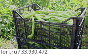 Купить «Freshly harvested green bean pods in plastic boxes on farm plantation in sunny spring day», видеоролик № 33930472, снято 12 июля 2020 г. (c) Яков Филимонов / Фотобанк Лори