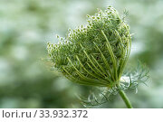Купить «Wilde Möhre, Daucus carota subsp. carota, Blüte, Blumenwiese, Bild, Foto, RoHa-fotothek, Bayern, Oberbayern, Wiese, Blumen, bluehend, blühend», фото № 33932372, снято 6 июля 2020 г. (c) age Fotostock / Фотобанк Лори