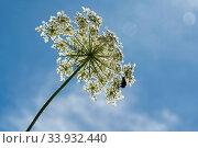 Купить «Wilde Möhre, Daucus carota subsp. carota, Blüte, Blumenwiese, Bild, Foto, RoHa-fotothek, Bayern, Oberbayern, Wiese, Blumen, bluehend, blühend», фото № 33932440, снято 10 августа 2019 г. (c) age Fotostock / Фотобанк Лори