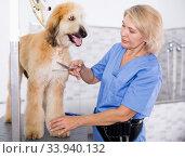 woman hairdresser cuts Afghan puppy Shepherd in beauty salon for animals. Стоковое фото, фотограф Татьяна Яцевич / Фотобанк Лори