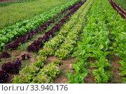 Rows of lettuce and vegetables seedlings in garden. Стоковое фото, фотограф Яков Филимонов / Фотобанк Лори