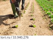 Купить «Planting lettuce seedlings», фото № 33940276, снято 13 мая 2020 г. (c) Яков Филимонов / Фотобанк Лори