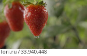 Купить «Drop of water dripping from a large ripe red strawberry on green blurred background with green leaves and some berries. Slow-motion drop. Full HD video, 240fps,1080p.», видеоролик № 33940448, снято 3 июля 2020 г. (c) Ярослав Данильченко / Фотобанк Лори