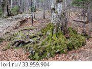 tree roots in a green forest. Стоковое фото, фотограф Nataliia Zhekova / Фотобанк Лори