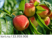 Купить «Ripe sweet peach fruits growing on a peach tree branch», фото № 33959908, снято 3 августа 2015 г. (c) Nataliia Zhekova / Фотобанк Лори